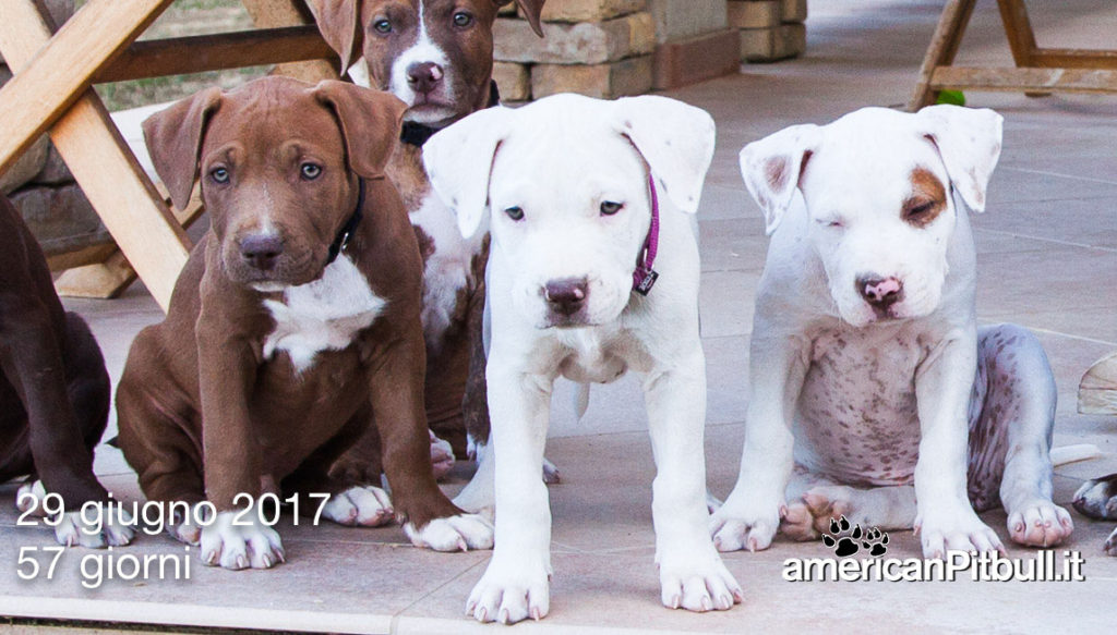 cucciolo american pit bull terrier red nose bianco
