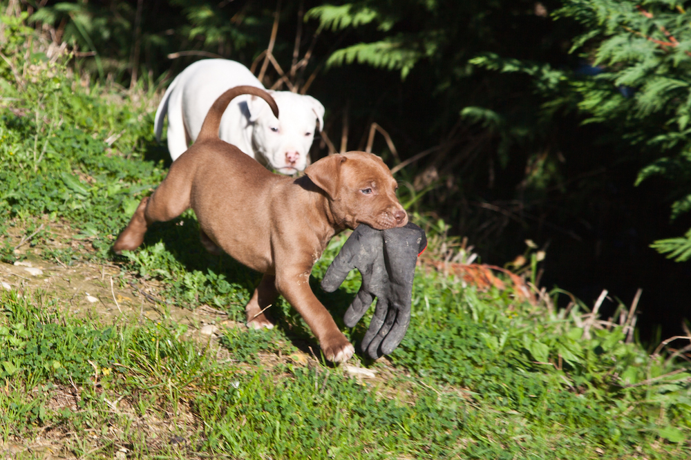 cucciolo-cane-gioca