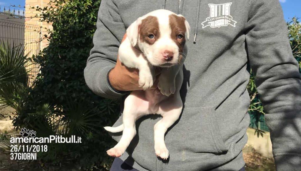 Cash, cucciolo maschio american pit bull terrier cioccolato, foto cucciolo a 37 giorni