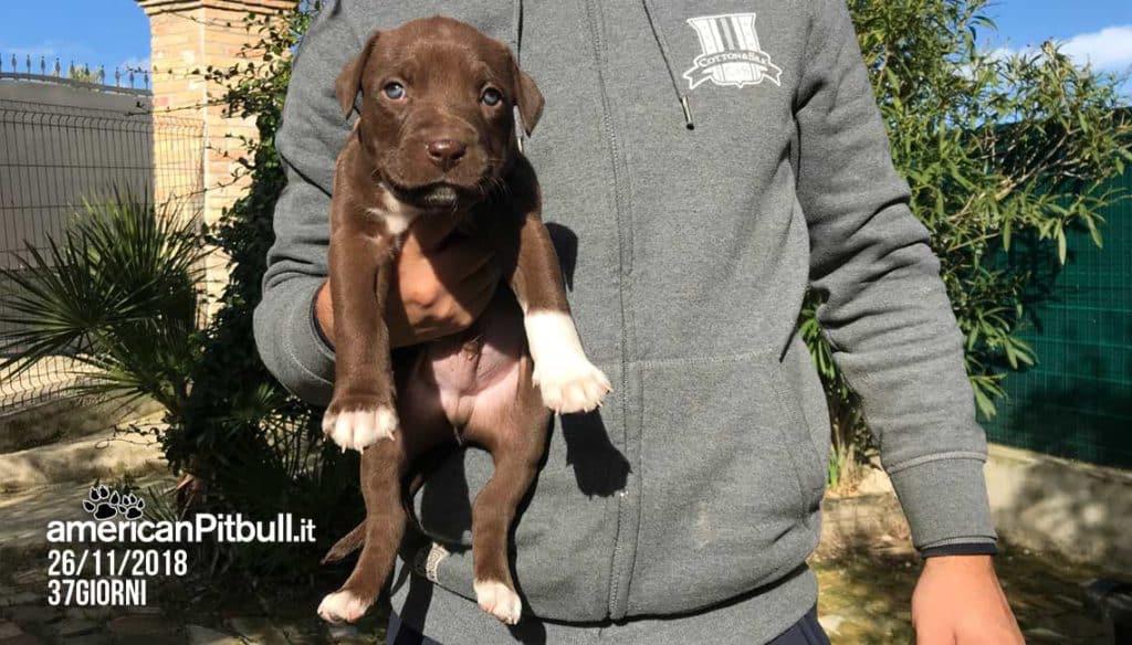 Storm, cucciolo maschio american pit bull terrier cioccolato, foto cucciolo a 37 giorni