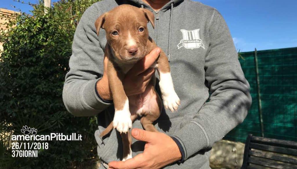 Sam (Jazz), cucciolo maschio american pit bull terrier cioccolato, foto cucciolo a 37 giorni