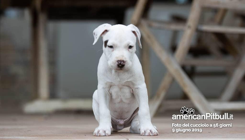 Cucciolo pitbull bianco, nome Blanco, 56 giorni
