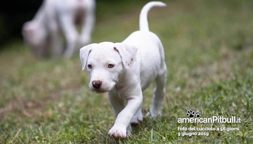 cucciolo pitbull bianco, nome morgan, 56 giorni