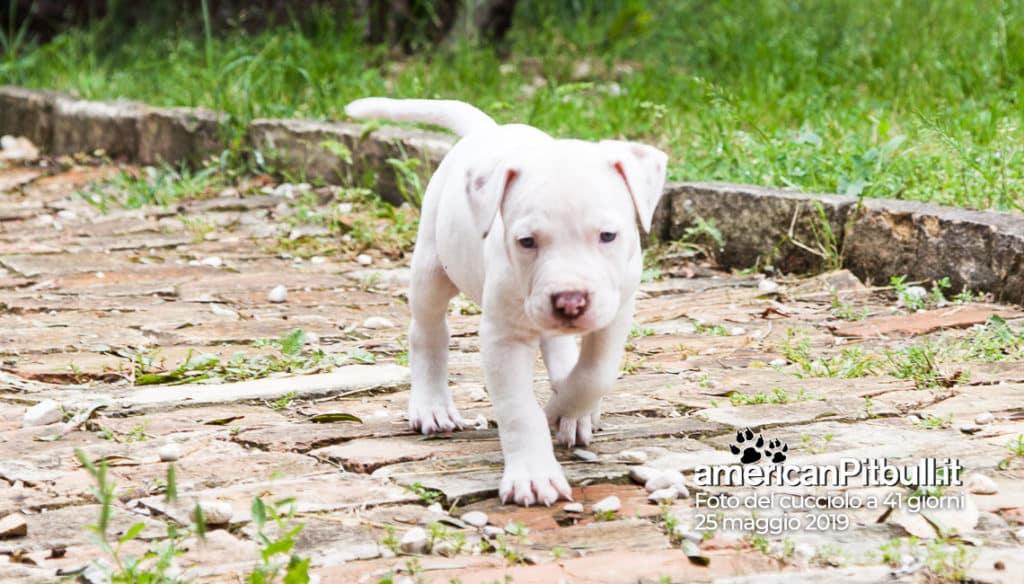 cucciolo pitbull bianco Bayron 41 giorni