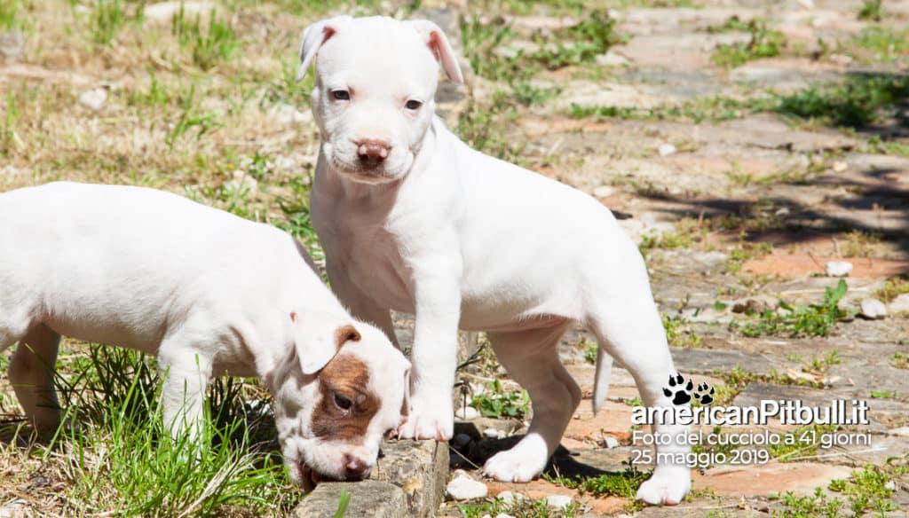 cucciolo femmina pitbull bianco, nome Frida, 41 giorni