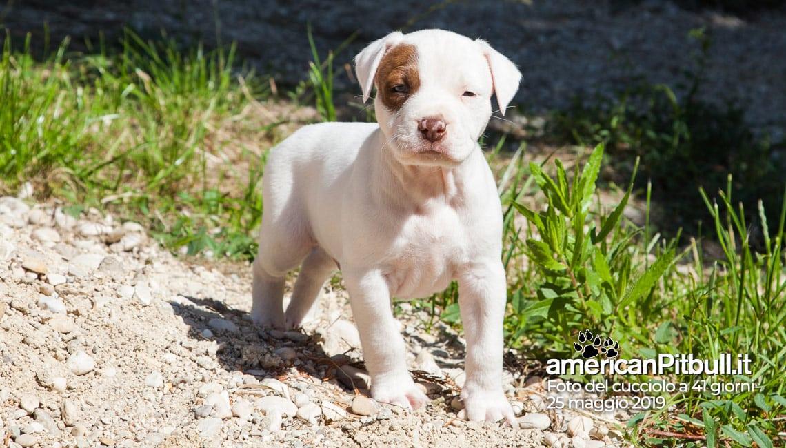 Cucciolo pitbull, nome Gordon, bianco pezzato, 41 giorni