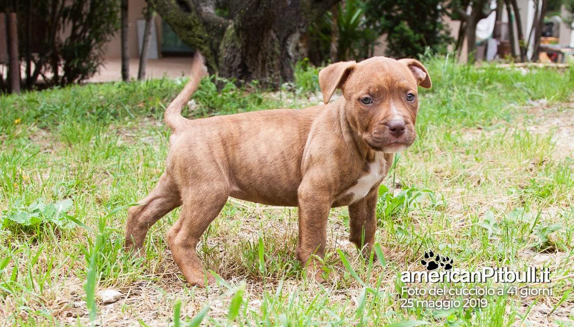 cucciolo femmina pitbull cioccolato e bianco, nome greta, 41 giorni