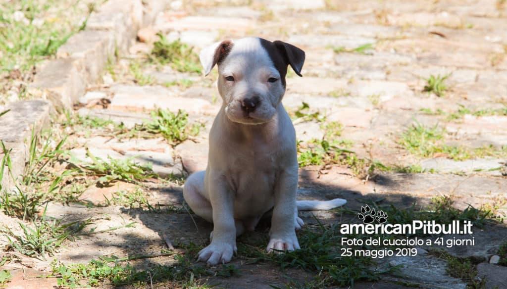 cucciolo pitbull bianco pezzato, nome Hector, 41 giorni