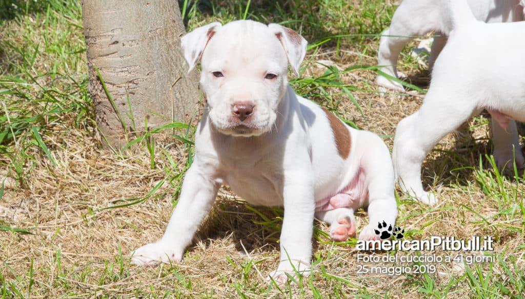cucciolo pitbull bianco Rupert 41 giorni