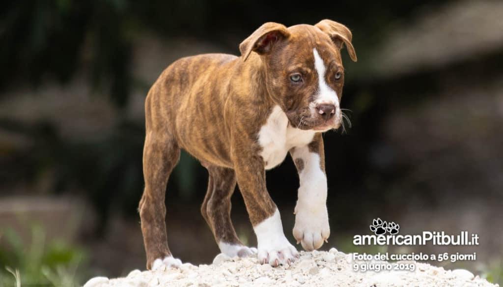 cucciolo Pitbull Pezzato, nome Spike Tyson, 56 giorni