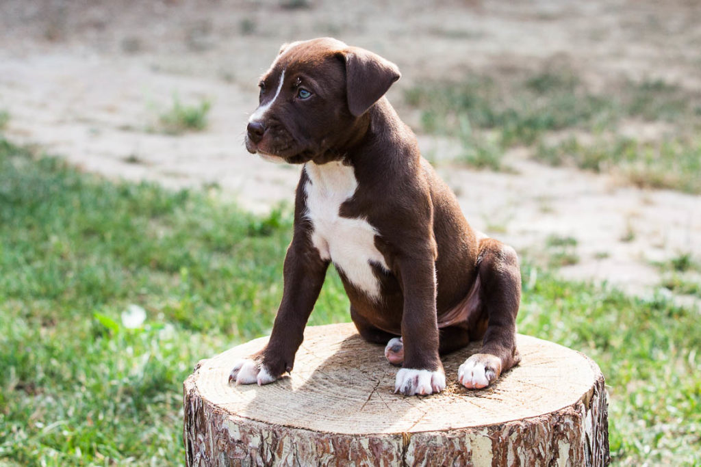 cucciolo pitbull marrone pitbull reserve