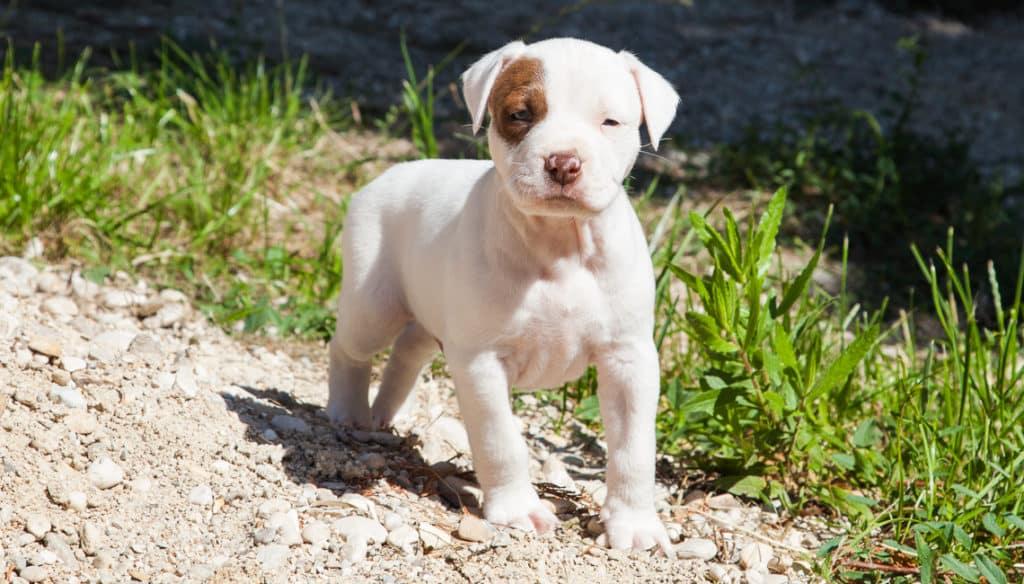 cucciolo Pitbull, Gordon (Blu x Mila 2019) allevamento Pitbull Reserve