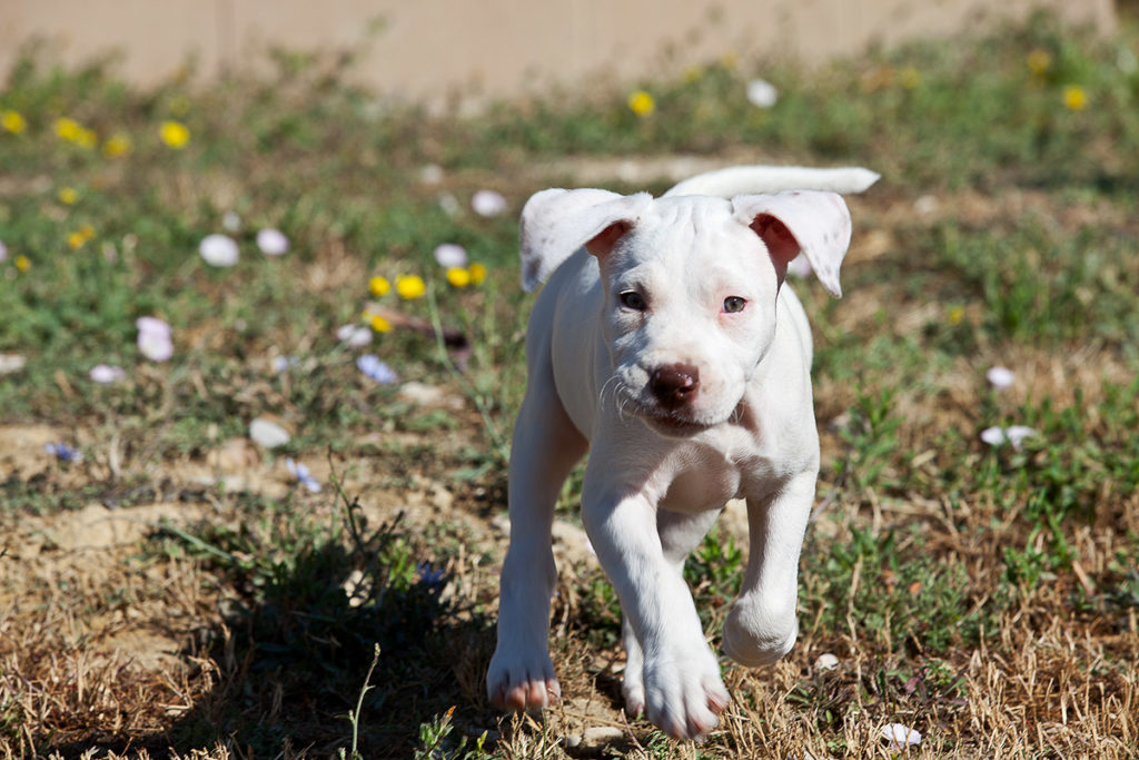 american-pitbull-terrier-mila--2