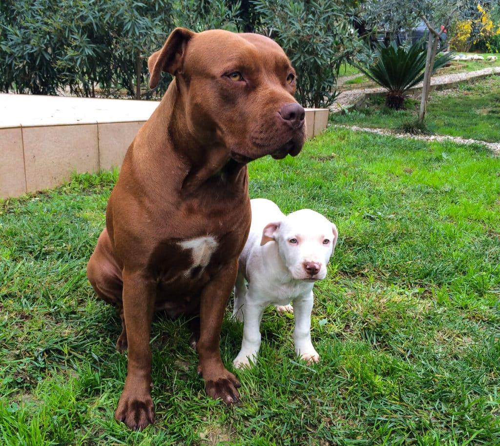 pitbull adulto cucciolo