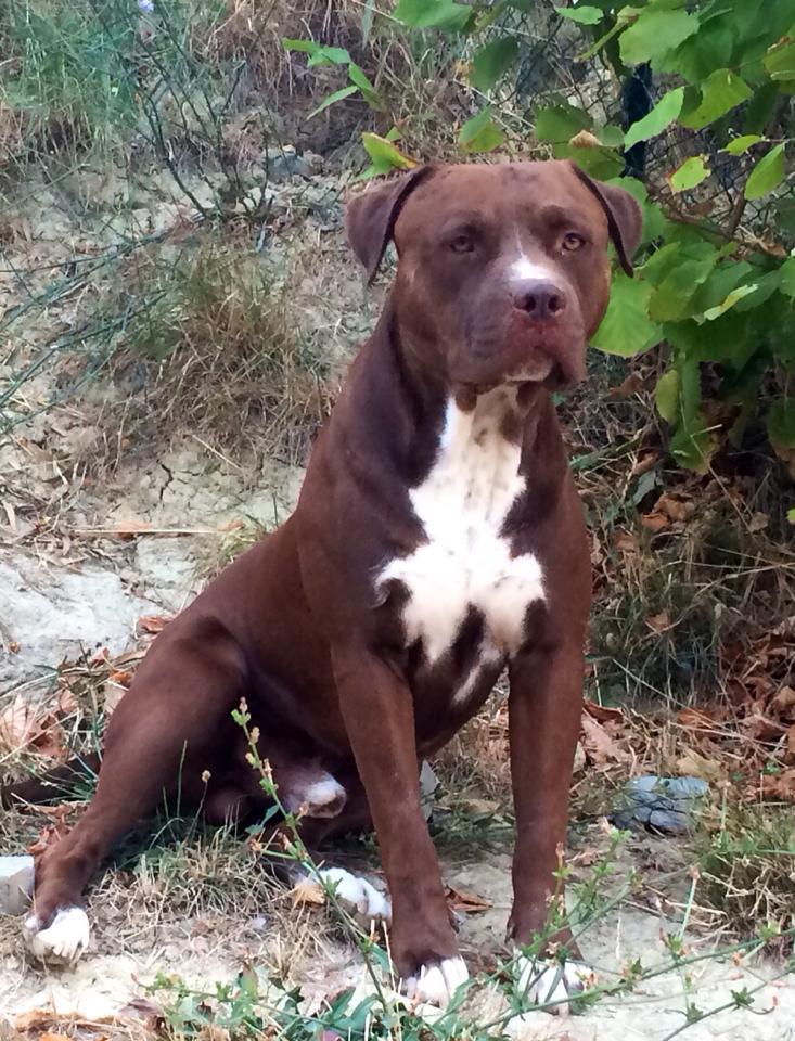 pitbull reserve ascher