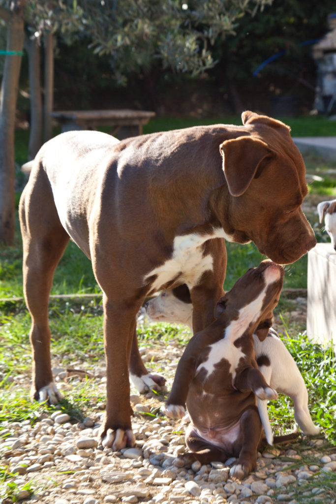 pitbull adulto cucciolo ascher