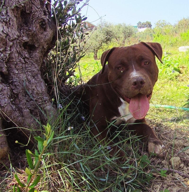 pitbull marrone ascher