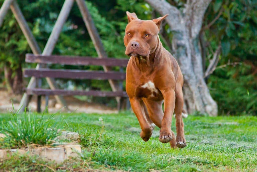 pitbull corre trudy