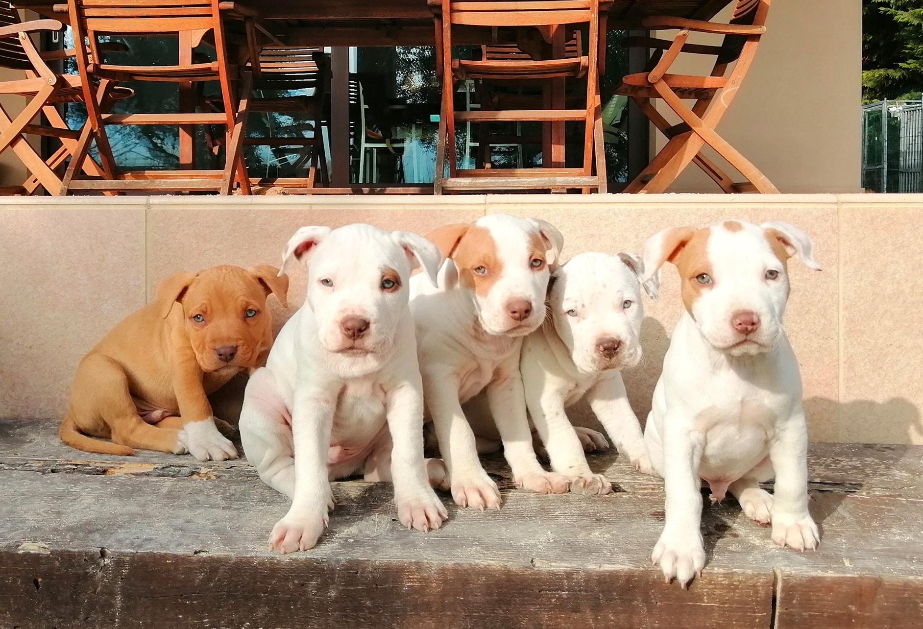cuccioli pitbull seduti, 5 cuccioli, 4 bianchi e uno marrone chiaro