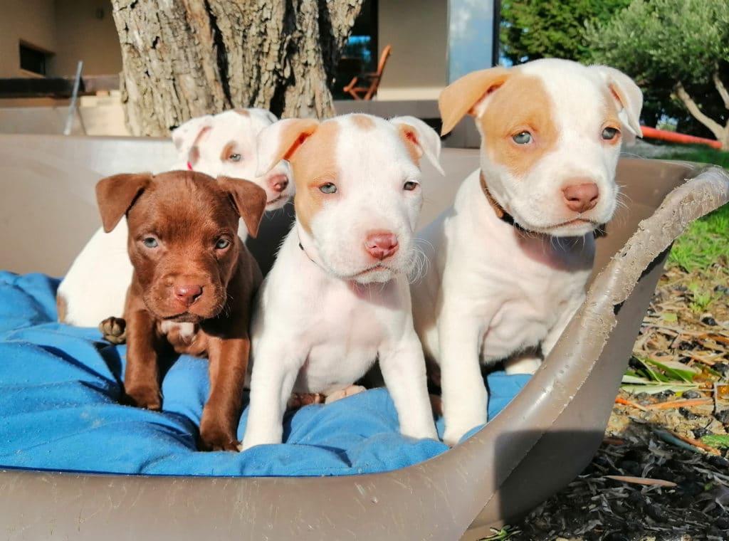 cuccioli-pitbull-maggie-thor-roul-10-12-20-b