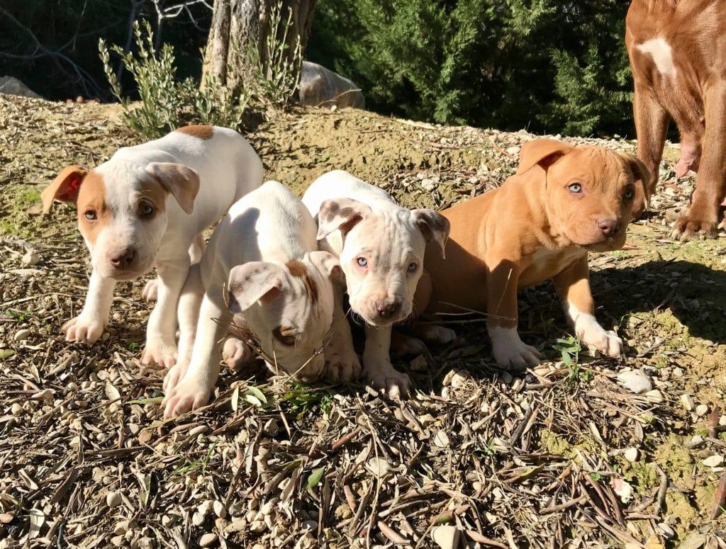 cuccioli pitbull reserve 2