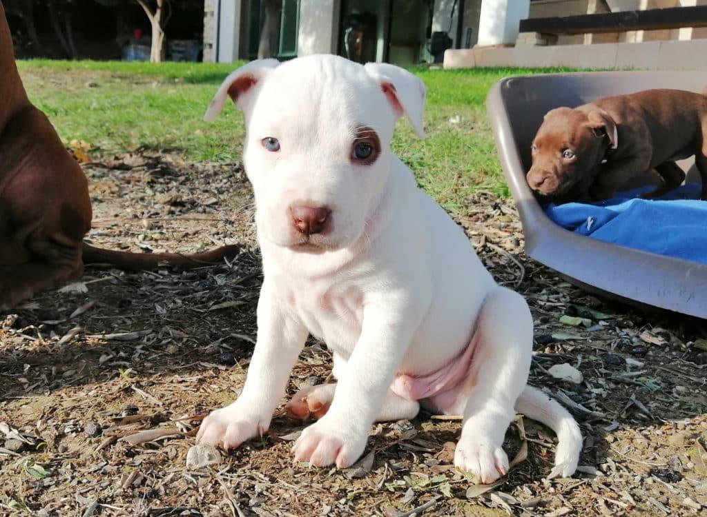 cucciolo-pitbull-jack-10-12-20