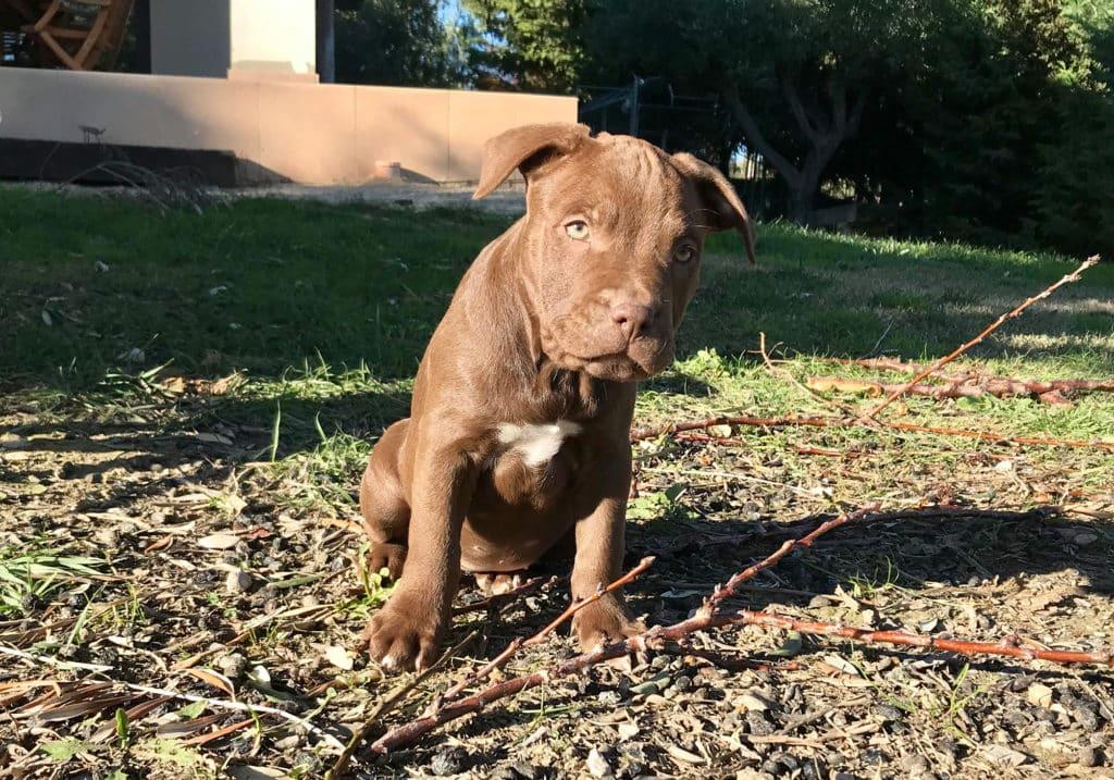 pitbull-cucciola-kira-IMG_2484