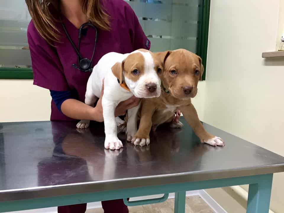 due cuccioli di Pitbull sul tavolo del veterinario