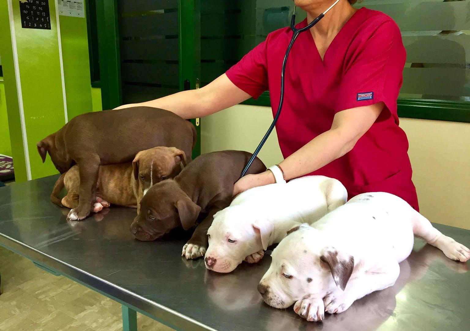 Cuccioli Pitbull durante visita dal veterinario, 5 cuccioli sul tavolo e dottoressa che ascolta il cuore con stetoscopio