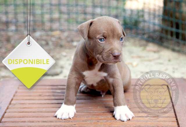 cucciolo-pitbull-db-14-23-07-21-d-s
