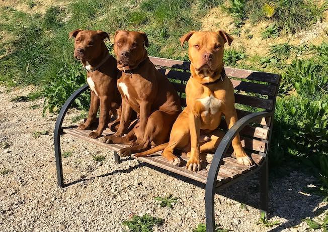 tre pitbull seduti su una panchina in giardino