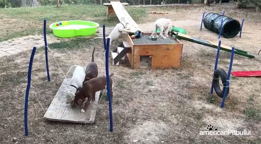anteprima del video parco avventura per cuccioli pitbull