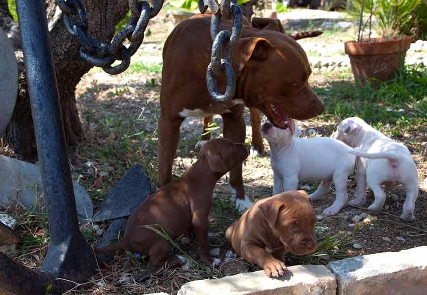allevamento pitbull con cane adulto che gioca con i cuccioli