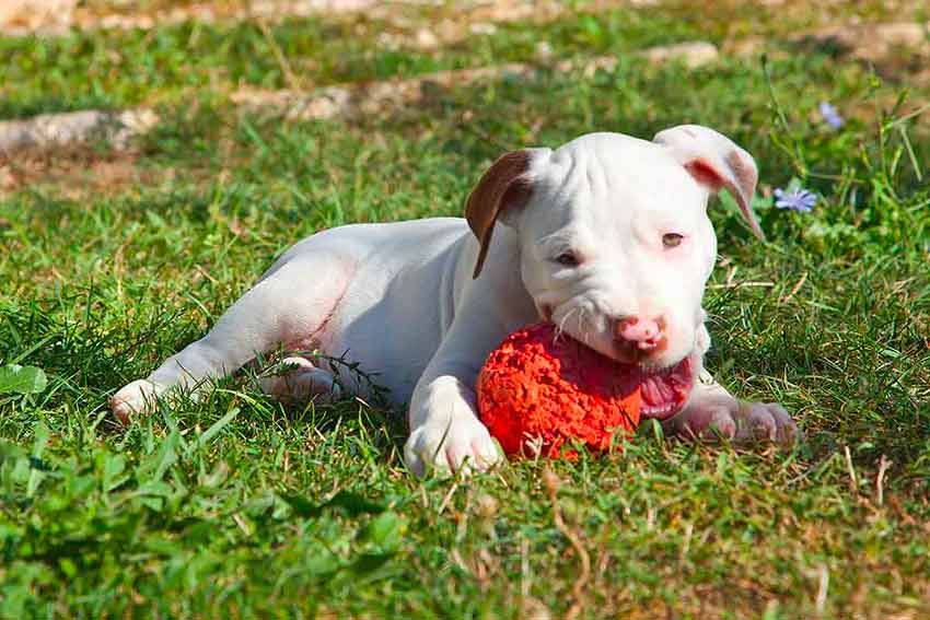 Cucciolo Pitbull bianco che morde una pallina rossa
