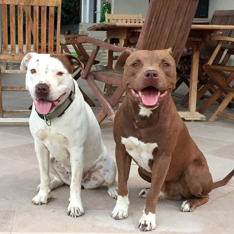 Blu x Oxa, america pitbull terrier