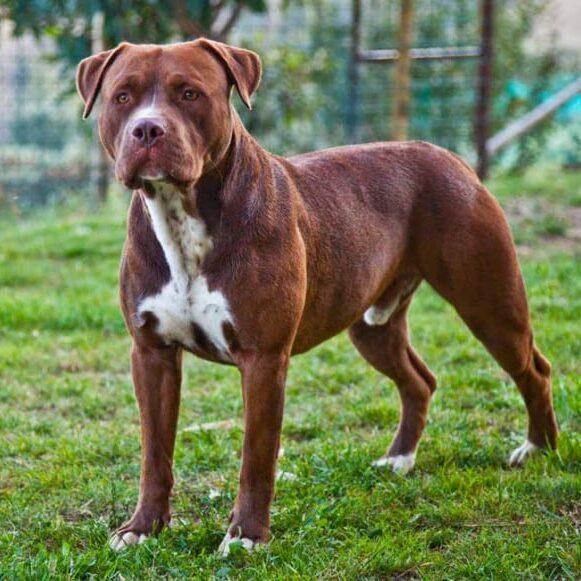 ascher american pitbull terrier