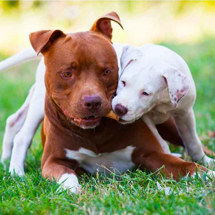 Blu pitbull adulto e Mila cucciola pitbull bianca che giocano con un osso