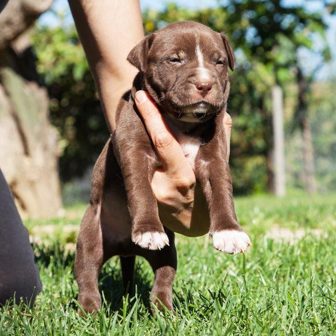 cucciolo american pit bull terrier