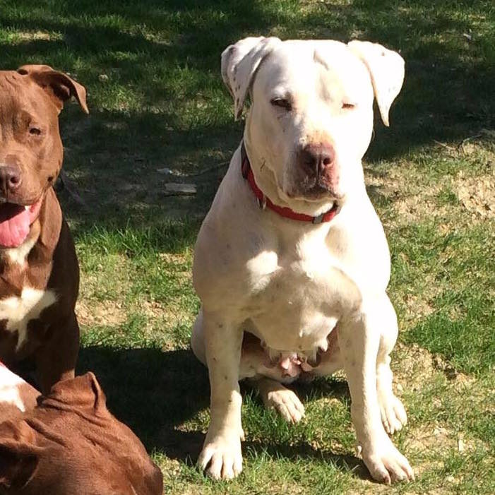 Mila, American Pitbull Terrier bianco, allevamento Pitbull Reserve